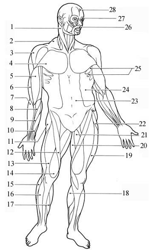 sternocleidomastoid muscle diagram